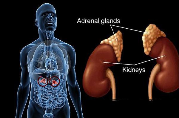 De bijnieren en aldosteron