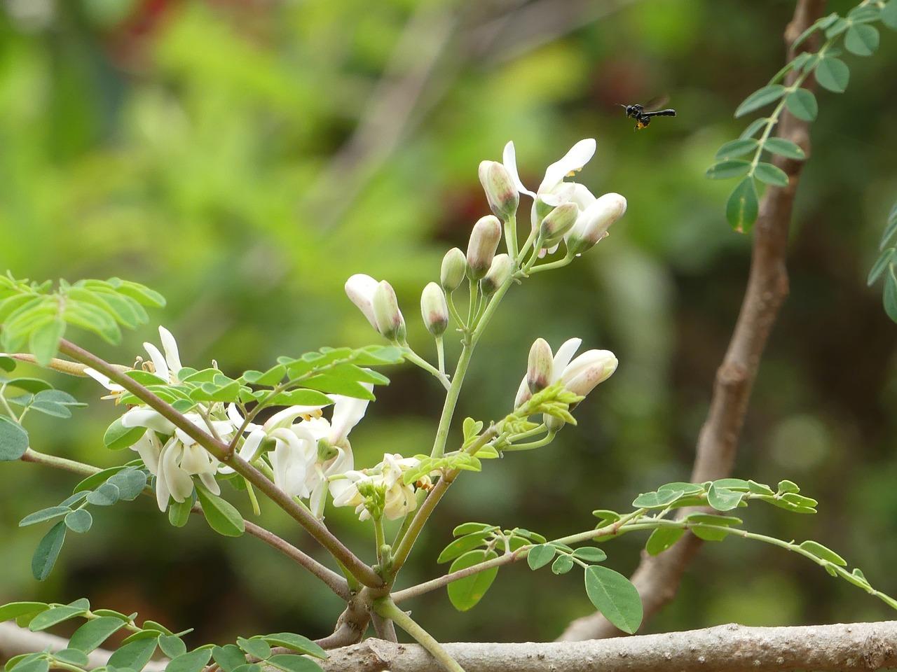 Moringa Olifeira voedingswaarde
